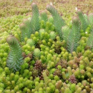 Sedum-mix blanket - type T