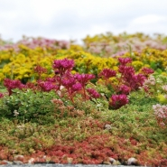 Sedum-mix blanket