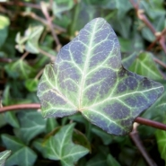 Plant mat Hedera helix 'Normandy Carpet'