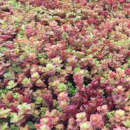 Maroon Sedum-Mix Blanket